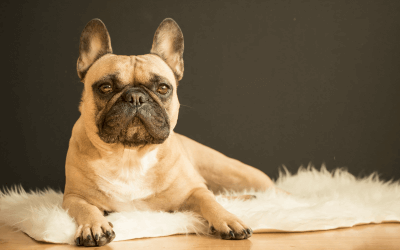 Fixing the face: The rise of brachycephalic breeds and their health problems